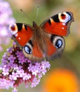 Trouve-vlinder